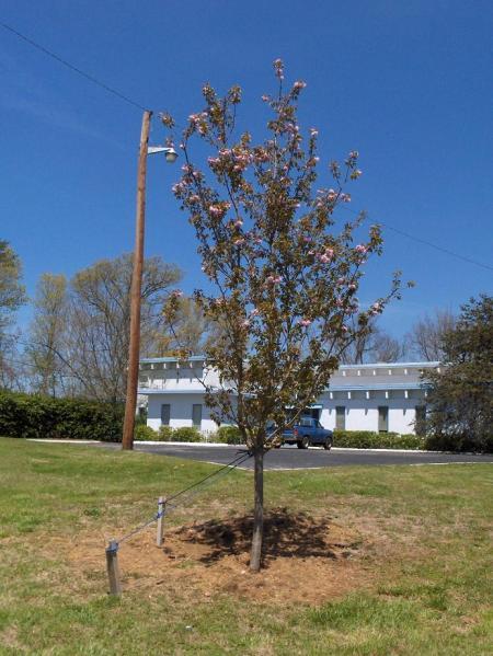Tensilkut cherry tree